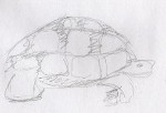 illustration, Katherine, Pancole, la valse lente des tortues, graphite